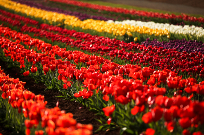 Over the Rainbow Week at Tesselaar Tulip Festival 2017